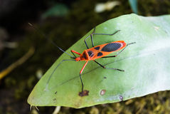 Red cotton bug, Cotton stainer Stock Image