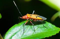 Red Cotton Bug (Dysdercus Cingulatus) Royalty Free Stock Image