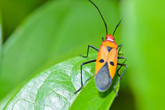 Red Cotton Bug (Dysdercus cingulatus) Royalty Free Stock Images