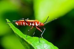 Red Cotton Bug (Dysdercus cingulatus) Stock Photography