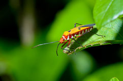 Red Cotton Bug (Dysdercus cingulatus) Stock Images