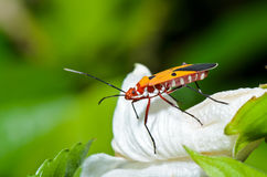 Red Cotton Bug (Dysdercus cingulatus) Stock Image