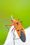 Red Cotton Bug (Dysdercus cingulatus) Royalty Free Stock Image