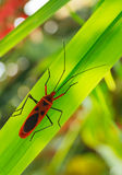 Red cotton bug on green leaf. Stock Image