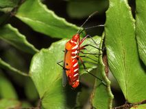 Red cotton bug mating. On a leaf Stock Image