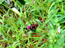 Red cotton bug Royalty Free Stock Image