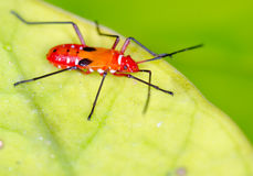 Red Cotton Steiner bug Stock Photography