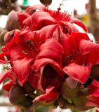 Red Cotton Tree 2. Red Silk Cotton (Bombax ceiba) Tree Blooms Stock Photo