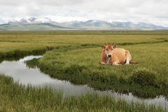 Red cow. Cow on a plateau in mountains of Kyrgyzstan, asia Royalty Free Stock Photo