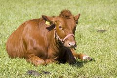 Red cow. In the middle of the field in Poland royalty free stock image