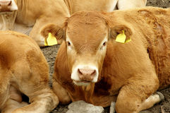 Red Cow. In Norwegian field Stock Photos