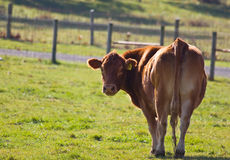 Red Cow. Red - brown cow standing in pasture royalty free stock photography
