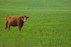 Red Cow In Barley Meadow Stock Image
