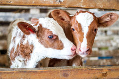 Red cow calf stand at stall at farm Royalty Free Stock Photos