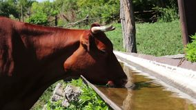 Red cow drinks water from a trough in a summer pen for cattle stock video footage