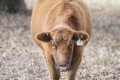 Fat cow with ear tag. Red cow with ear tag, face closeup, huge belly, face down. Copy space on either side. Symmetrical photo of a Red Angus Cow that is royalty free stock image