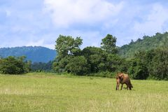 Red Cow Eating some Grass in the Nature Field.  Royalty Free Stock Photos