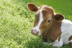 Red cow is in a grass Stock Photo