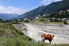 A red cow grazes on the bank of the river Mestiachala. In the village of Mestia, Svaneti region, Georgia stock photo