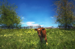 A red cow grazes on a meadow against the old wooden fence. A small calf in the Ukrainian field Stock Image
