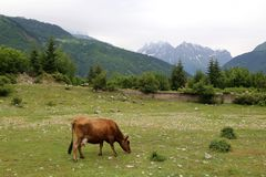 A red cow grazes in a mountain valley. A cow grazes on a green meadow in the mountain region of Svaneti in Georgia stock images