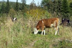 Red cow grazes by the road, in the autumn forest. Autumn. A red cow grazes by the road, in the autumn forest royalty free stock photos