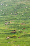 Red Cow Grazing On A Green Mountain Slope In Spring In Mountains Stock Photography