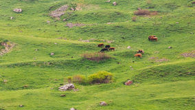 Red Cow Grazing On A Green Mountain Slope In Spring In Mountains Royalty Free Stock Image