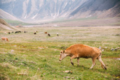Red Cow Grazing On A Green Mountain Slope In Spring In Mountains Royalty Free Stock Images