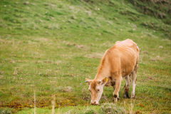 Red Cow Grazing On A Green Mountain Slope In Spring In Mountains Royalty Free Stock Photos