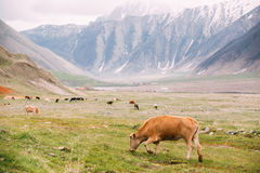 Red Cow Grazing On A Green Mountain Slope In Spring In Mountains Stock Images