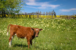 Red cow grazing in a meadow against the old wooden fence. A red cow grazes on a meadow against the old wooden fence. A small calf in the Ukrainian field Royalty Free Stock Photo