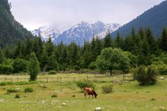 A red cow grazing in a meadow in a mountain, Svaneti, Georgia royalty free stock images