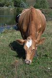 Red cow Royalty Free Stock Images