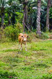 Red cow grazing in a Thai village Stock Photo