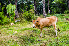 Red cow grazing in a Thai village Stock Photos