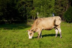 Red cow on green field. Poland Stock Photo