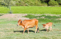Red cow and her calf on green field Stock Photo