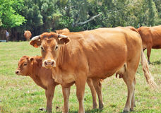 Red cow with her calver. Andalucia, Spain Royalty Free Stock Images