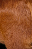 Red cow hide. Detail of hair on red cow hide shining in the sun royalty free stock photography