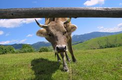 Red cow looks into camera, over summer grassland Stock Images