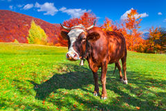 Red cow on pasture in mountains in autumn Stock Photo