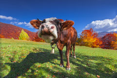 Red cow on pasture in mountains in autumn Royalty Free Stock Photography