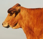 The red cow stock images