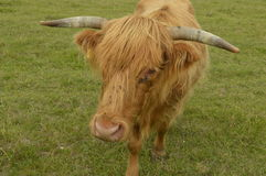 Red cow. Cow with a reddish coat with long hair that almost obscures eyes, on face are flies Stock Photography