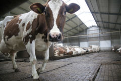 Red cow in stable looks at camera and other cows in the backgrou Royalty Free Stock Images