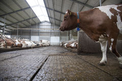Red cow in stable and other cows in the background Stock Photos