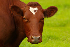 Red cow with a stain-heart. Stock Images