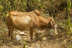 A red cow stands in the green bushes among the garbage and eats cardboard. ecological problem stock photography