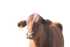 Red Cow Yellow Ear Tag Isolated with path Royalty Free Stock Photo